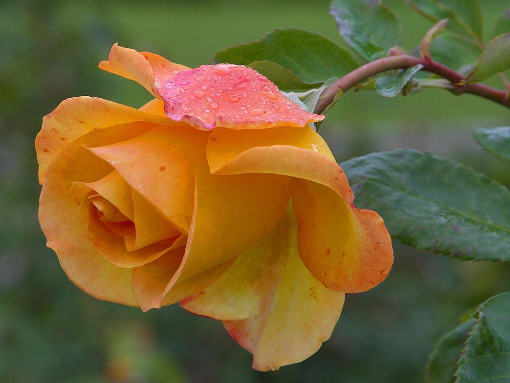 yellowrose3.jpg